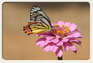Schmetterling, Fotografie aus Indien, 2007